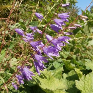 Nettled-Leaf-Bellflower