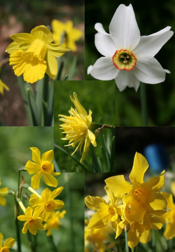 Old-Cottage-Garden-Daffodil Collection