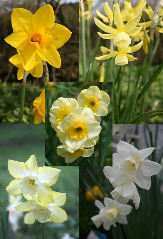 Scented-Daffodil-Collection
