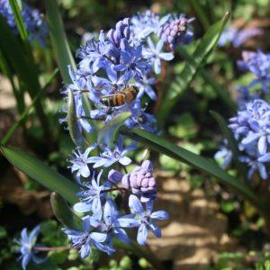 Scilla-bifolia