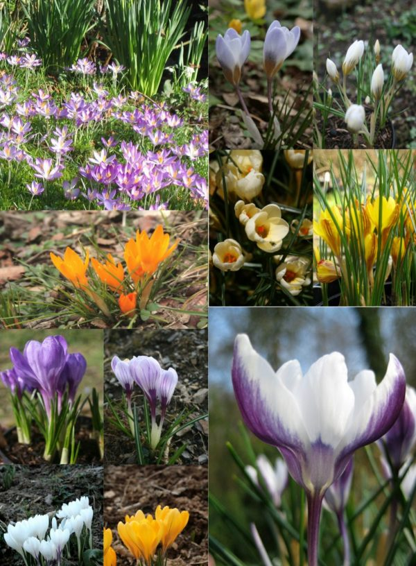 Special-Collection-of-Crocus