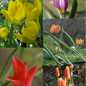 Special-Collection-of-Tulips