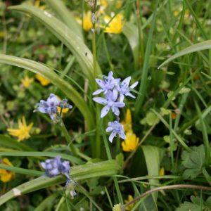Spring-Squill