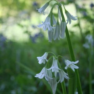 Three-Cornered-Leek