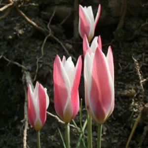 Tulipa-clusiana-Lady-Jane