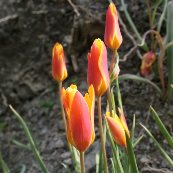 Tulipa-clusiana-var-chrysantha