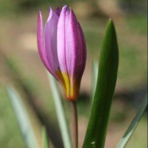 Tulipa-humilis