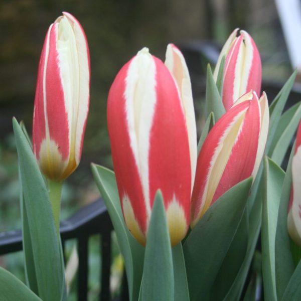 Tulipa-kaufmannianna-Ancilla
