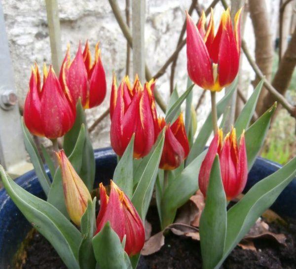Tulipa-schrenkii