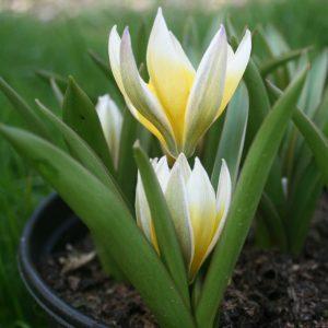 Tulipa-tarda