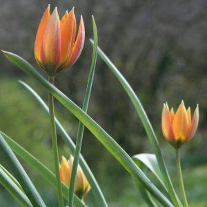 Tulipa-whittallii