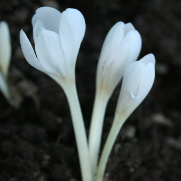 Autumn-Crocus-(White)
