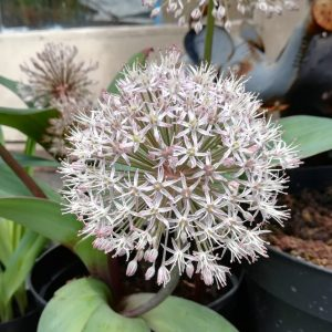 Allium-karataviense