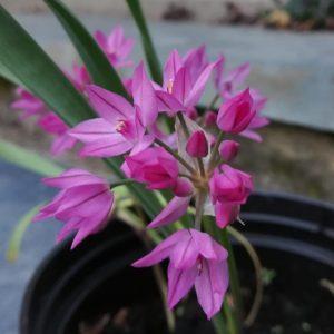 Allium-orphilium