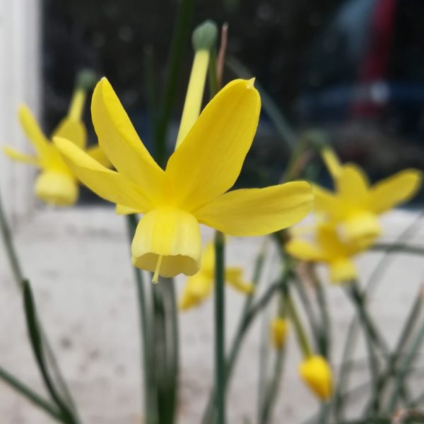 Narcissus-April-Tears