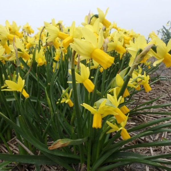 Narcissus-Jumblie