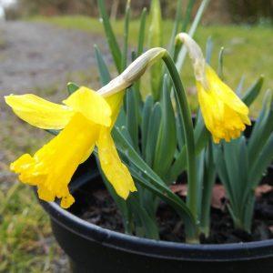 Narcissus-Midget