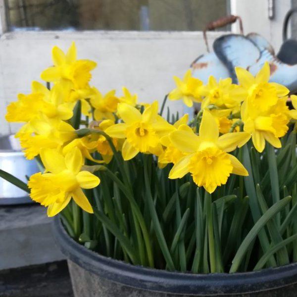 Narcissus-asturiensis