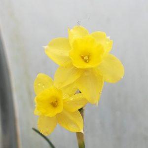 Narcissus-sabrosa